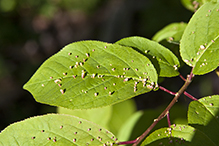 chokecherry finger gall mite