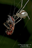 cobweb weaver (Family Theridiidae)