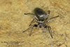 thick-spined jumping spider