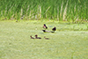Wood ducks (male and female) and female Hooded Merganser with ducklings