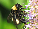 black-and-gold bumble bee