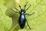 oil beetle (impressus)