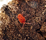 red velvet mite (Trombidium sp.)