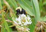 two-spotted bumble bee