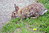 Mearns' cottontail