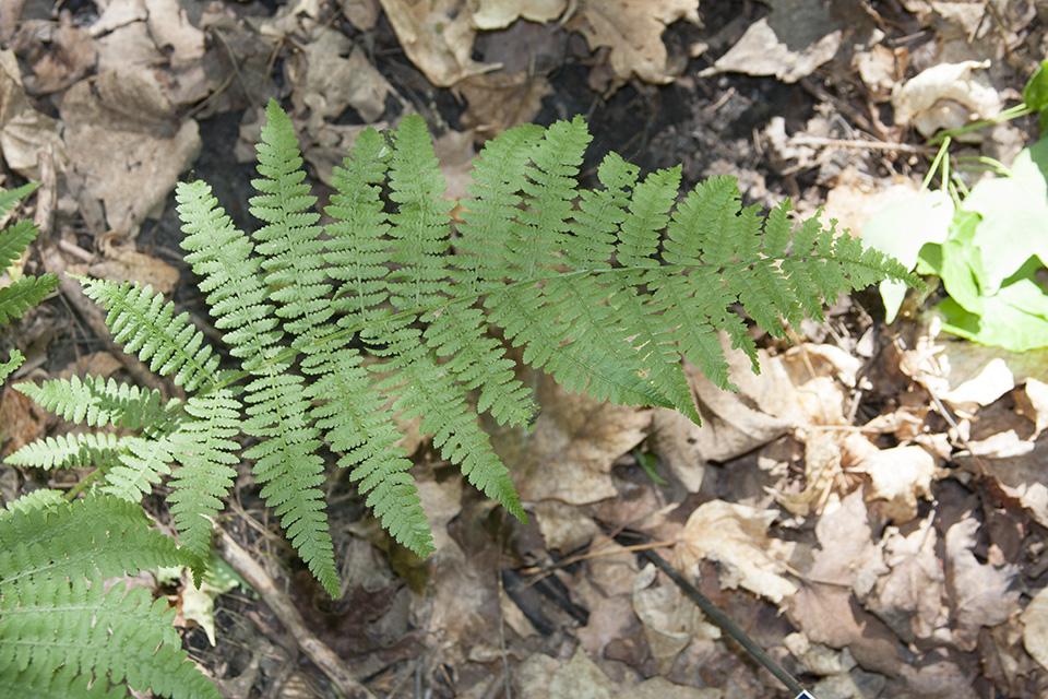 Ferns of Minnesota