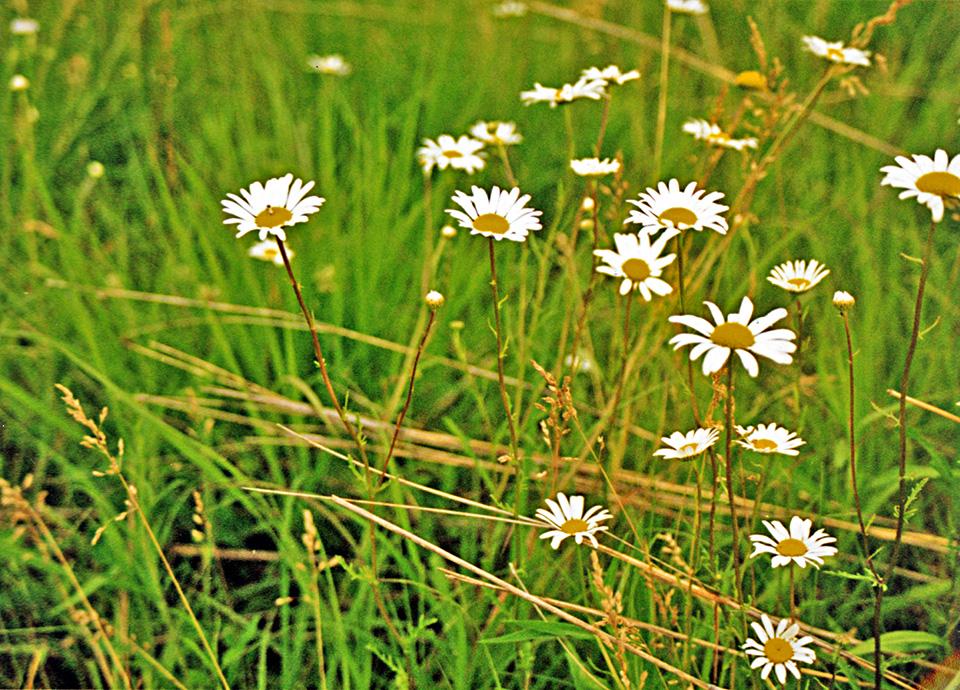 matricaria chamomilla german chamomile minnesota wildflowers
