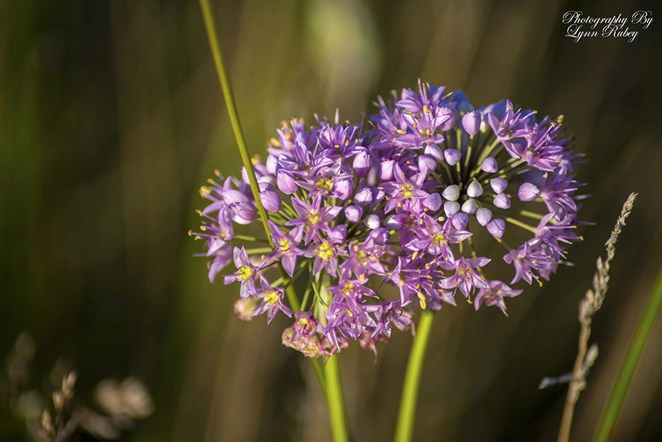 allium cernuum nodding wild onion minnesota wildflowers