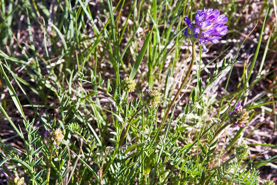Minnesota Seasons Purple Locoweed