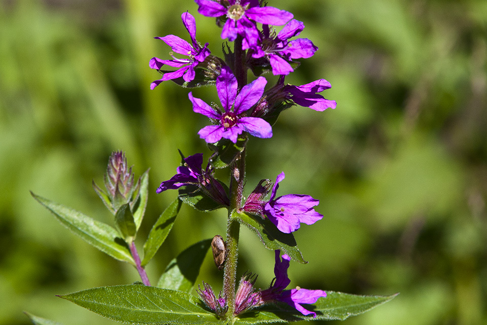 Purple Loosestrife: What you should know, what you can do