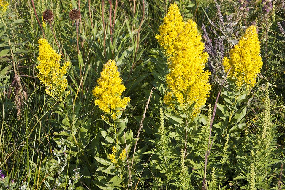 Solidago speciosa (Showy goldenrod) | NPIN
