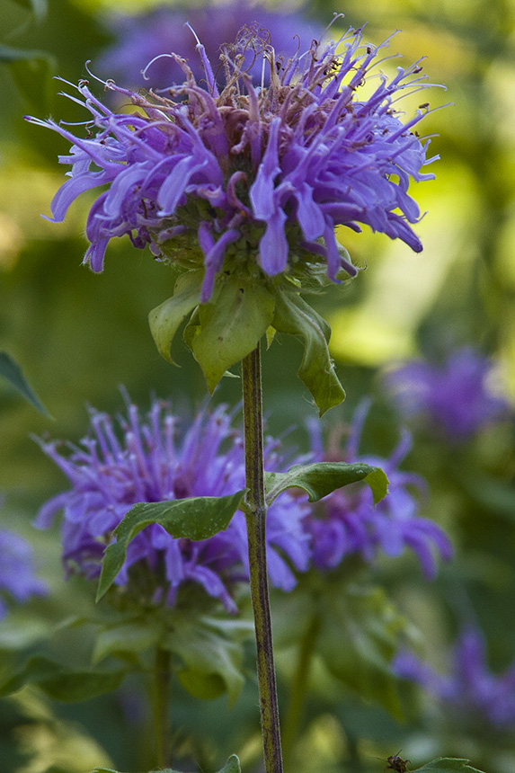 Minnesota Seasons - soft wild bergamot