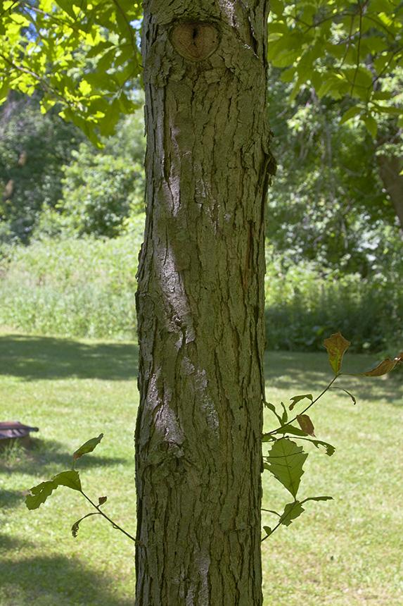 Minnesota seasons swamp white oak