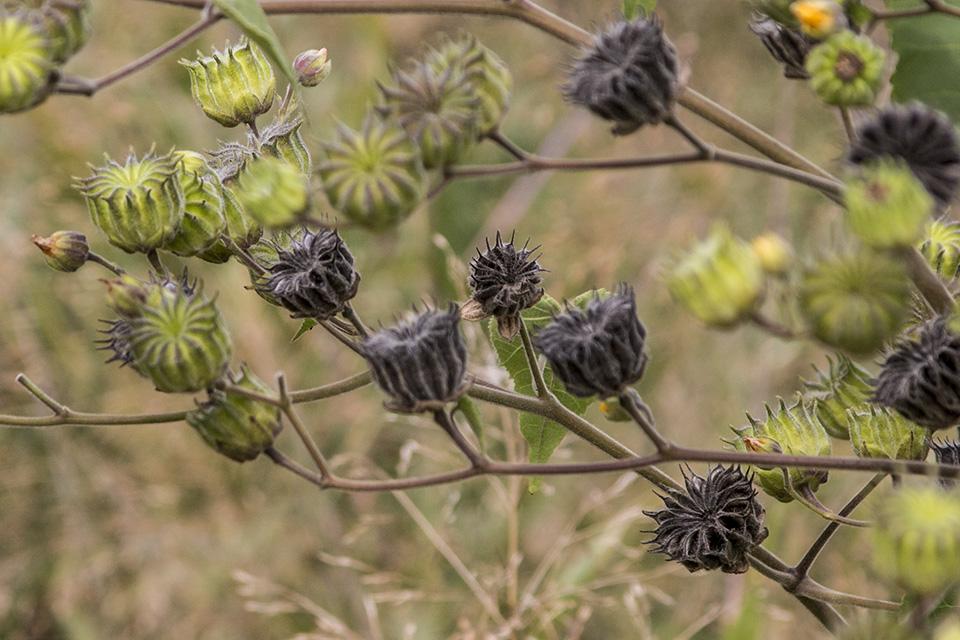 Minnesota Seasons Velvet Leaf