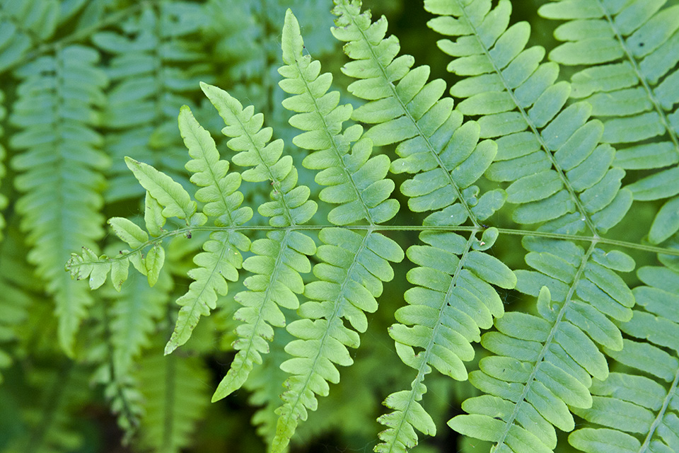 ferm life cycle The life cycle of a typical fern proceeds as follows: a diploid sporophyte phase produces haploid spores by meiosis (a process of cell division which reduces the.