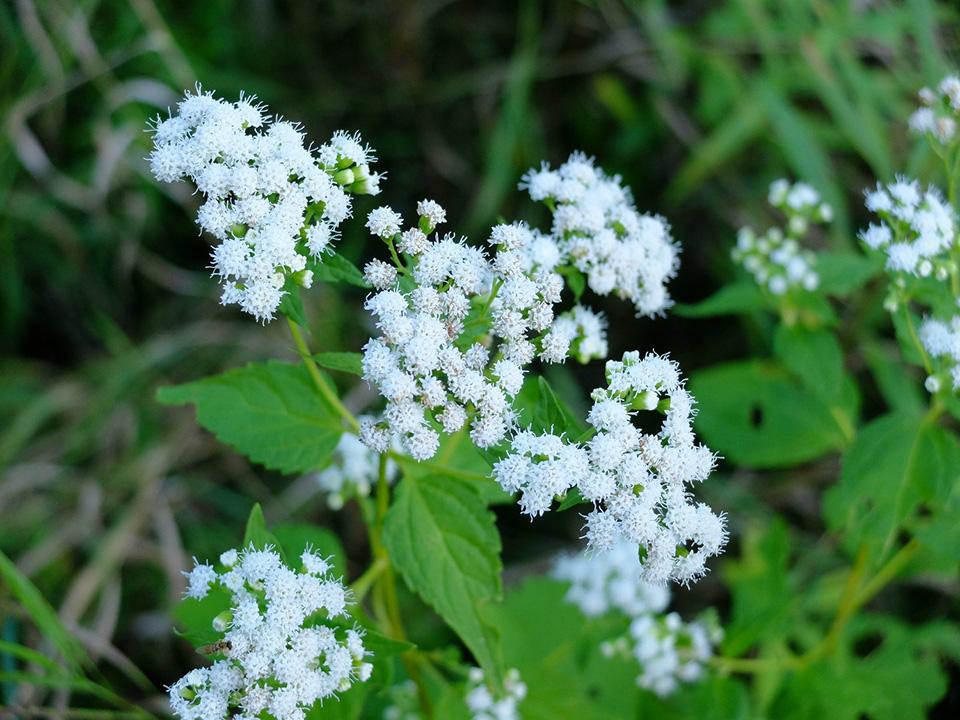 Minnesota Seasons White Snakeroot