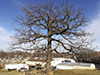 bur oak (var. macrocarpa) and black cherry