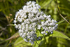 common boneset