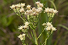 false boneset