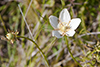 fen grass of Parnassus