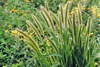 giant green foxtail