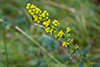 hairy goldenrod