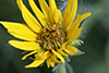 Maximilian's sunflower