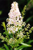 narrow-leaved meadowsweet