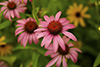 narrow-leaved purple coneflower