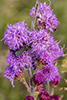 northern plains blazing star