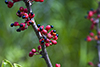 northern prickly ash