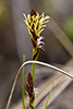 Pennsylvania sedge
