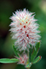 rabbit's foot clover