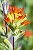 scarlet Indian paintbrush (f. coccinea)