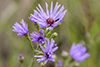 smooth blue aster (var. laeve)