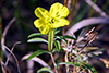 toothed evening primrose