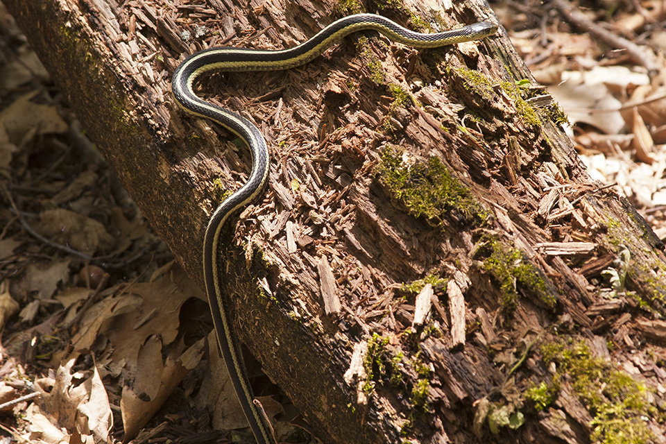 Minnesota Seasons - common garter snake